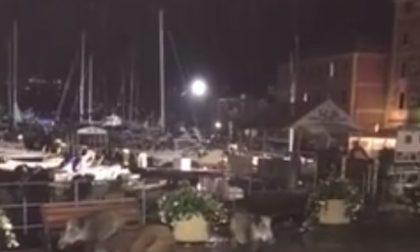 Cinghiali a spasso sul lungomare di Santa Margherita Ligure