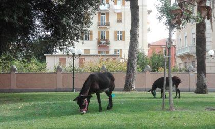 Gli asini volano? No passeggiano in piazza Torriglia