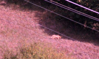 Avvistato un puma in Val d'Aveto