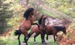 """Cavalli selvatici in Val D'Aveto e Val Graveglia, Garibaldi a Viale: """"Urgente incontrarsi"""""""