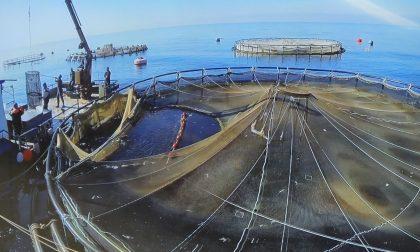 La mareggiata mette in ginocchio anche l'itticoltura del Tigullio