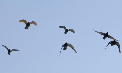 Alla Società Economica si parla di piccioni: viaggiatori