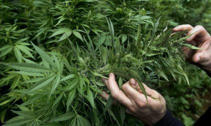 Cannabis terapeutica made in Italy: un futuro per molte aziende agricole