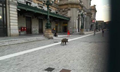 Avvistato cinghiale davanti alla stazione di Genova Brignole