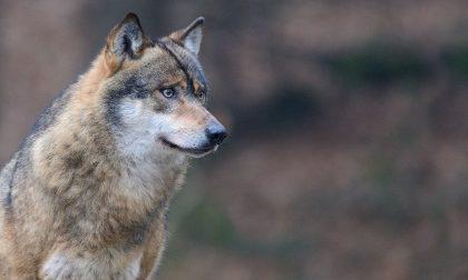 A Chiavari un incontro sui lupi: rappresentano un pericolo?