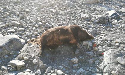 Chiavari, trovata la carcassa di un cinghiale in spiaggia