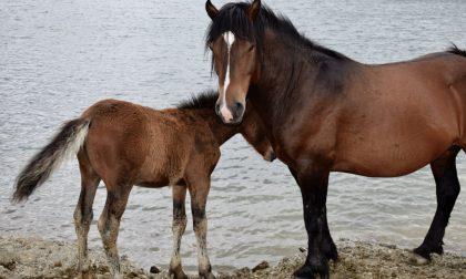 Cavalli selvaggi dell'Aveto, 105mila euro per un piano sperimentale di monitoraggio sanitario