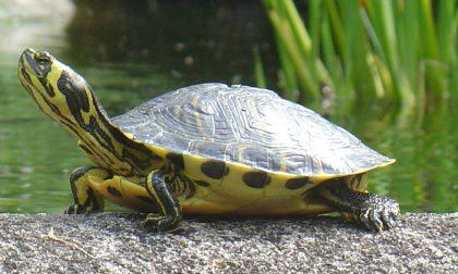Tartaruga americana abbandonata a Rapallo, caccia al proprietario
