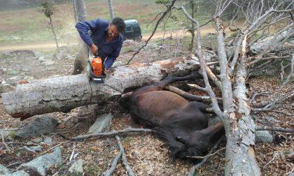 Cavallo selvaggio incastrato fra i tronchi, liberato dalle guardie Fipsas