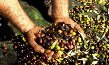 La Cooperativa Agricola Lavagnina ha aperto il frantoio oleario