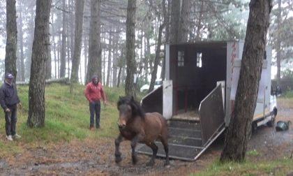 Liberato cavallo selvaggio: «Era stato catturato per la macellazione clandestina»