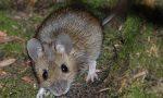 Filmano un topo entrare in un locale e ricattano il proprietario