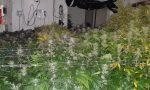 Cercano i ladri e trovano una piantagione di marijuana
