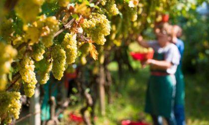 Viticoltura in Liguria: al via la vendemmia