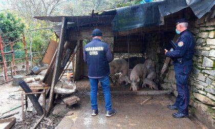 Suini in condizioni sanitarie inaccettabili: denunciati gli allevatori