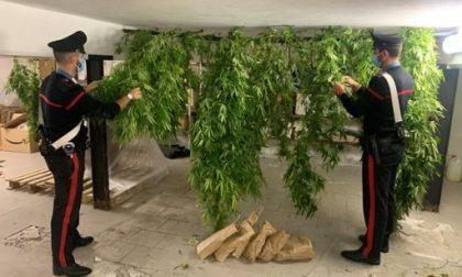 Coltivava marijuana nel giardino di casa, arrestato