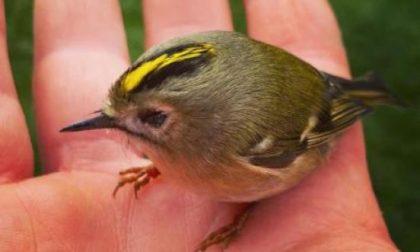 Un particolare uccellino migratore, il Regolo