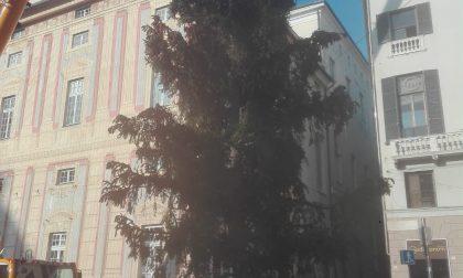 A Genova gli alberi di Natale dalla Val d'Aveto