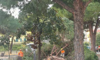 Addio ai pini di piazza Taviani