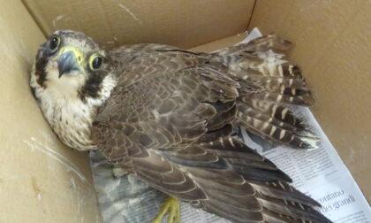 Recupero di Falco pellegrino, Lipu Tigullio ringrazia i CC Forestali