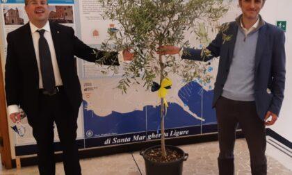 Santa Margherita Ligure, Giornata Mondiale dell'Ambiente: il Lions Club dona al Comune un nuovo albero di ulivo