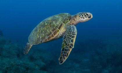 Ingerisce plastica, la tartaruga Tita ricoverata in prognosi riservata